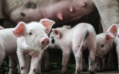 New guide to protecting pork export businesses from the ASF pandemic released